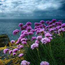 Armeria maritima Sea Thrift Rose Shades - 100 seeds - Perennial