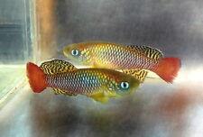 Pair of Nothobranchius palmqvisti «Ramisi KEN 2008-23» (Killifish)