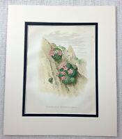 1877 Antico Botanico Stampa Fioritura Alpine Cactus Vecchia Cromolitografia