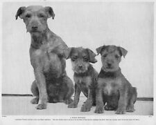 "Lakeland Terrier Dog Mom & Pups ""A Fond Mother "" Photo 1934 Vintage Dog Print"