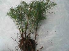 5 X Gemeine Fichte Picea abies Pre Bonsai Baum