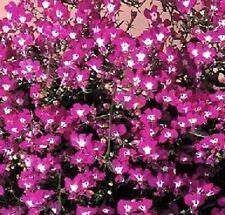 Lobelia- Rose Moon- 100 Seeds