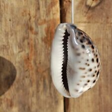 Natural Tiger Cowrie Seashell Light Pull