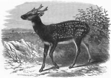 LONDON. Prince Alfred's stag, from Singapore, zoo, antique print, 1870