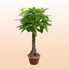 Seeds Tree Pachira Macrocarpa Rare  Make  Aquatica Malabar Chestnut Guiana 1Pc