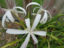 Crinum Lily, Bayou Traveler, large blooming-size bulb - New