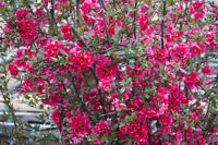 der mehrjährig immergrüne ZIERQUITTE ist eine schöne, Zierpflanze.