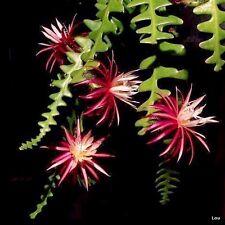 Orchid Cactus ( RIC RAC ) Indoor~Selenicereus Anthonyanus~1 cutting