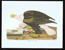 Wilson White-headed Bald Eagle - Color Bird Print