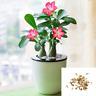 50pcs Adenium Obesum Desert Rose Seeds Perennial Flower Bonsai Garden Plant