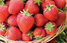 25 Honeoye Strawberry Plants, SHIPS NOW!
