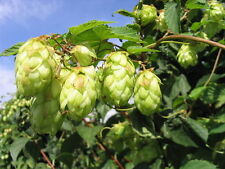 120+ Samen Humulus lupulus - Echter Hopfen , Kulturhopfen