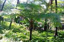 "Australian tree fern - Cyathea cooperi - 4"" Pot"