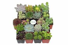 Plant Fully Rooted Succulents Unique Succulent Collection of 20 2 Inch Pots Soil