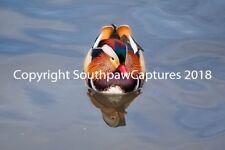 Mandarin Duck of Central Park