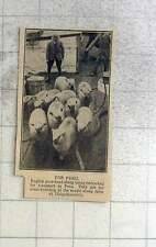 1925 English Pure Bred Sheep Being Transported To Peru, Chiquibambilla