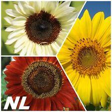 50Pcs Sunflower Flower Seeds 3 Colors Helianthus High Fertile Garden Plants