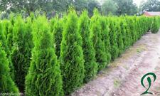 Lebensbaum Thuja Smaragd 120-140 cm Höhe. 16 x Heckenpflanzen 299,- €.