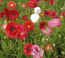 Papaver rhoes Mix 50 seeds