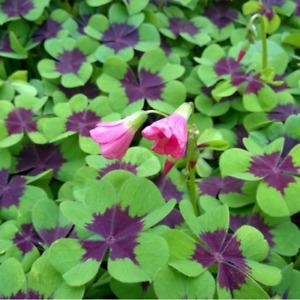 OXALIS DEPPEI~IRON CROSS~FLOWER BULBS PURPLE & GREEN SHAMROCK EASY HOUSE PLANTS!