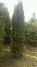 thuja columna (keine thuja smaragd/brabant),350cm, hecke, Hamburg, lebenbaum