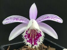 Near Hardy Orchid Pleione Gorilla bulb FS