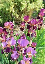 15 purple Iris Tall Bearded purple Rhizomes Bulbs live Plants