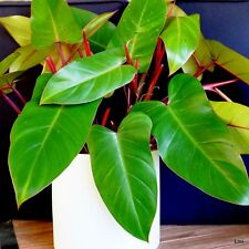 Philodendron # RED WINGS # Red tipped climber~House Plant~Outdoor~Pots