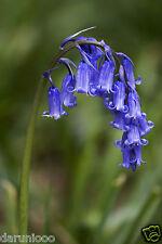 5 BLUEBELLS SCILLA NUTANS GARDEN BULB BEAUTIFUL SPRING SUMMER FLOWER PERENNIAL