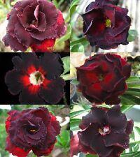 "NEW! Black Adenium Obesum Desert Rose ""Mixed"" 6 Plants 6 Types!"