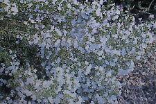 3 x 20 semillas Ajedrea, saturejab hortensis #452