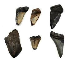 Megalodon Teeth Lot of 6 Fossils w/6 info cards Shark #15666 25o
