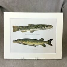 Loach Pike Fish Antique Victorian Print Marine Art Fishing