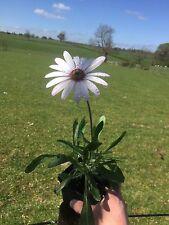 Osteospermum jacundum - Hardy Perennial in a 9cm Pot