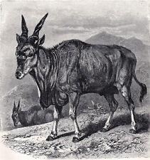 Eland 1894 Antelope - Mammal - Friedrich Specht Victorian Engraving