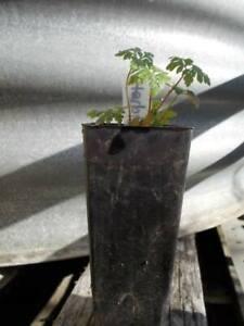 Geranium robertanium 1 x perennial herb plant tube size, edible or healing