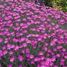 Dianthus Seeds Chedder Pink 100 Flower Seeds