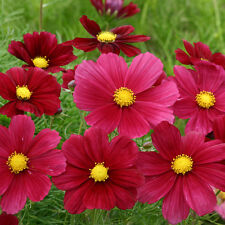 Kings Seeds-COSMOS bippinatus RUBINATO - 30 semi