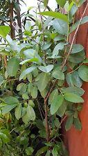 Guava White Flesh - 3 Feet Tall - Ship in 1 Gal Pot