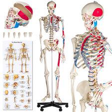 Squelette Taille grandeur Nature Modèle anatomique du Squelette humain 180cm marquage des Muscles Numérotation protection Affiche explicative de L'anatomie humaine