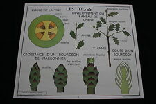 R206 Affiche scolaire papier Rossignol 5 TIGE BOURGEON 6 FEUILLE 90*75 ecorce