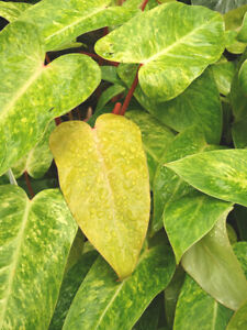 Rare Aroid Variegated Philodendron PAINTED LADY House Plant ROOTLESS LEAF