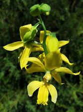 Calanthe sieboldii Naturform botanisch Orchidee Erdorchidee Frosthart Gelb