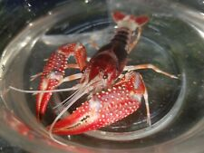 New listing 2 Ghost Craylings! Grows To Beautiful Colors! Baby crayfish Babies
