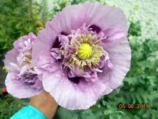 "FRILLY POPPY ""SUGAR PLUM"" VIOLET & POURPRE Pavot Froufrous 250 Graines 250 Seeds"