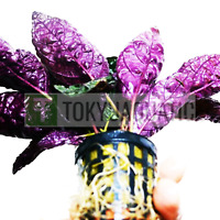 Hemigraphis Colorata Pot Purple Waffle Freshwater Live Aquarium Tropical Plant