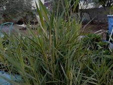 2 Organic Dwarf Bamboo Aqautic marginal pond plants