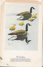 CI17.Vintage Postcard. Birds.Canada Goose. By Francis Lee Jaques.