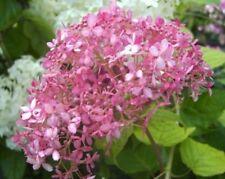 Contadini Hortensie Tivoli ® PINK 30-40cm Hydrangea macrophylla