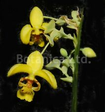 Botanica Ltd. Lockhartia oerstedii *Mounted-Great Foliage* Species Orchid Plant